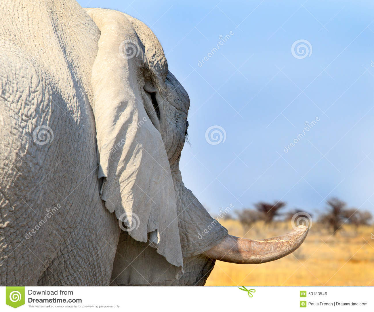 a close up of a side profile of an elephant tusk stock photo