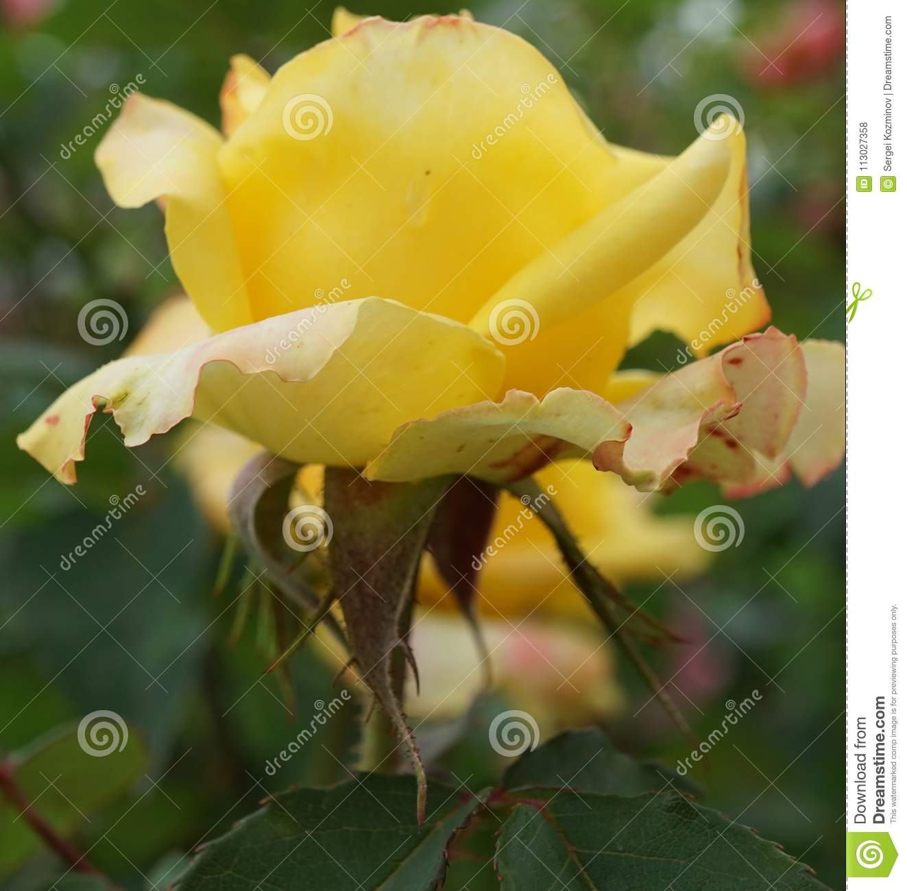 Close Up Side View Of A Bright Yellow Flower Rose Caucasian Stock