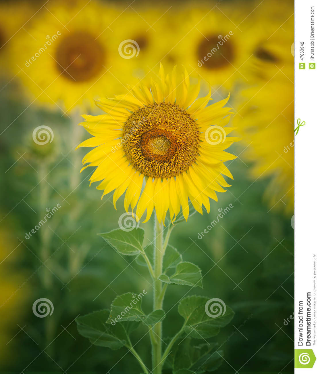 Close up single of beautiful sunflowers petal in flowers frild with copy space use as nature plant background ,backdrop