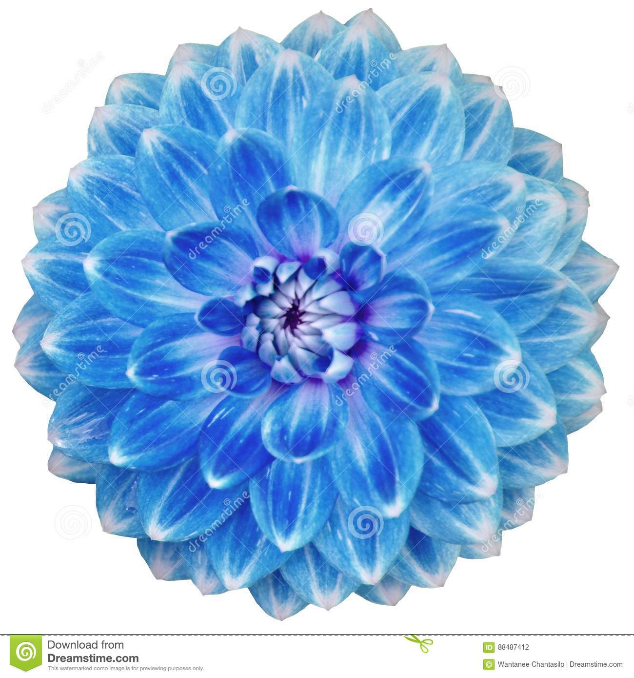 Close Up Of Single Blooming Blue Dahlia Flower Isolated On White
