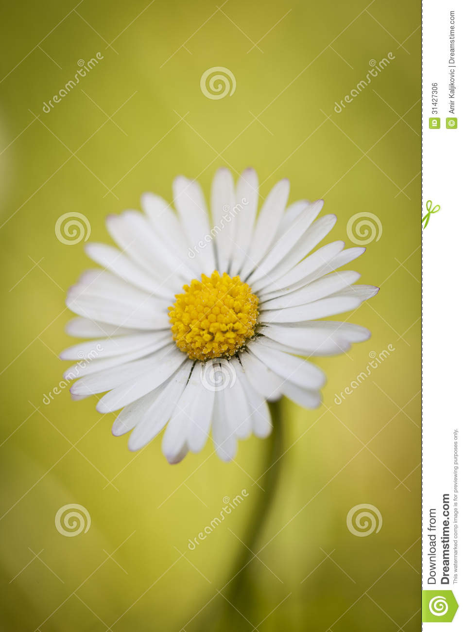 Close Up Of A Single Daisy Flower Stock Photo Image Of Single Up