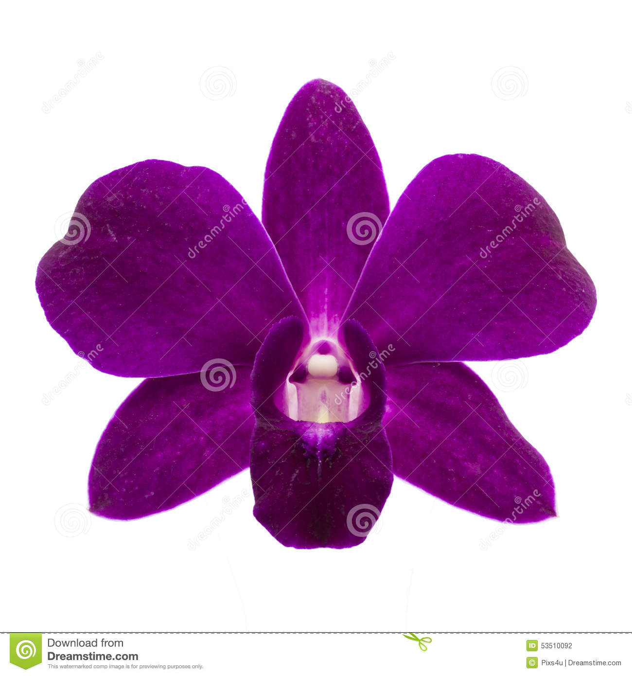 Close Up Of Single Purple Orchid Flower On White Background Stock