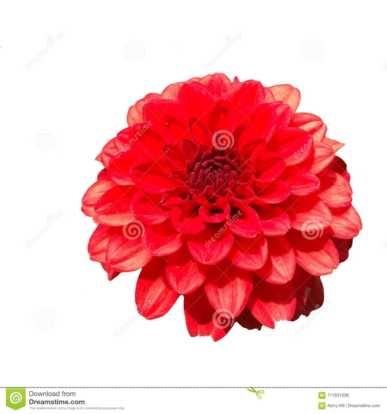 Close Up Of A Single Red Dahlia Flower Stock Photo Image Of