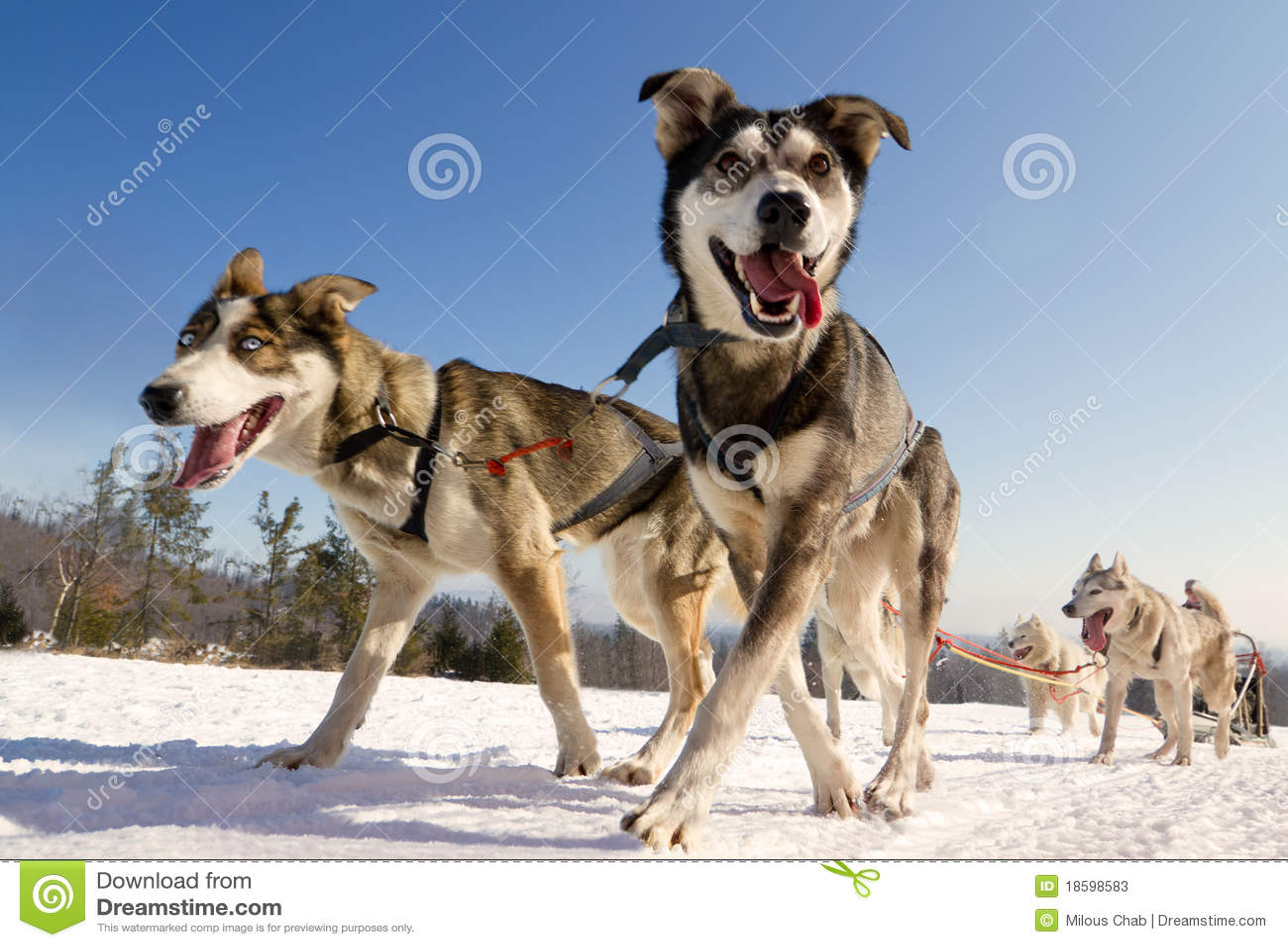 Close up of a sled dog, heading towards the camer