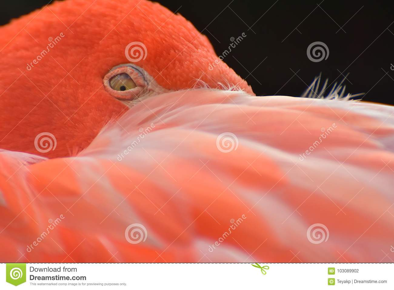 Close up of sleeping, resting flamingo, Phoenicopteriformes