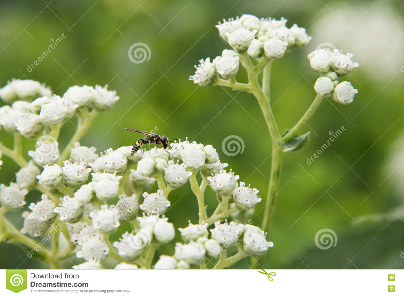 Close Up Of Small Budding Plant With White Flowers Stock Image