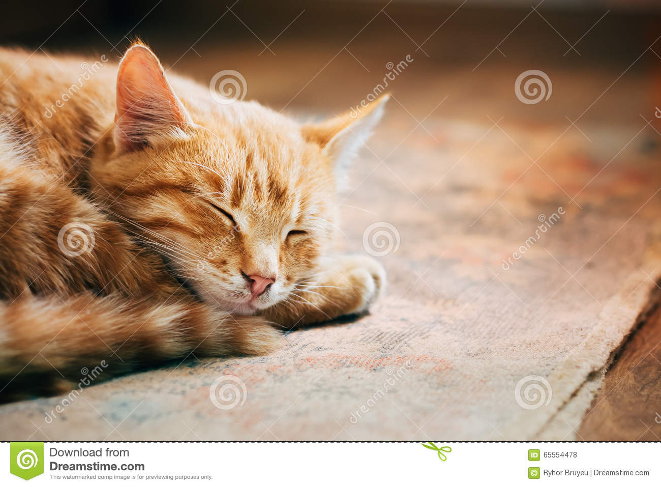 Download Close Up Of Small Peaceful Orange Red Tabby Cat Male Kitten Curl Stock Photo - Image of nice, beautiful: 65554478