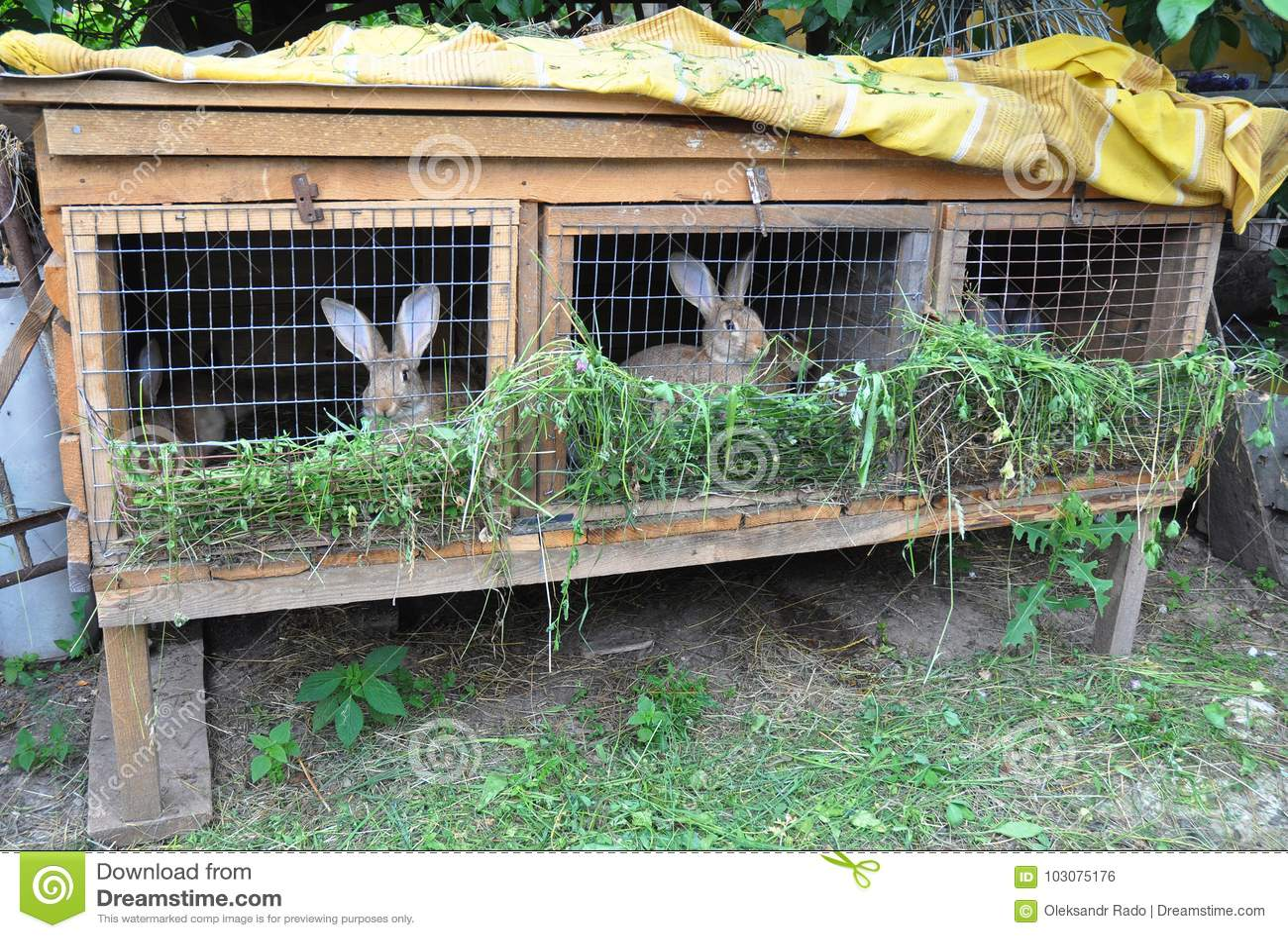 Small Rabbit Farming Feeding Rabbits Rabbit Cage Stock Photo Image Of Cuddly Furry 103075176