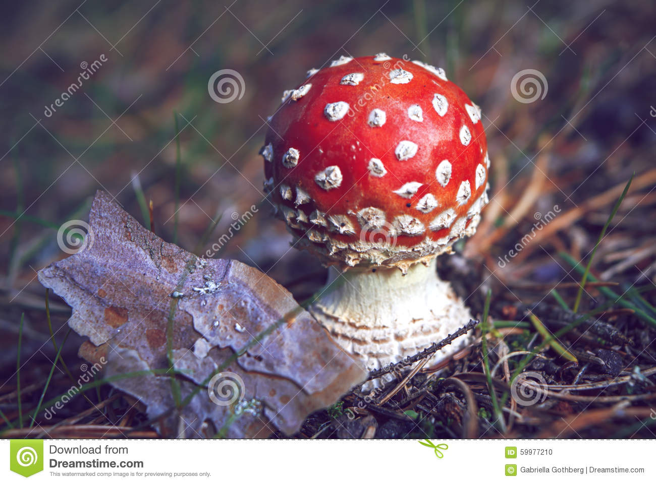 Close-up of a small, round red and white fly agaric, Amanita muscaria, in autumn.