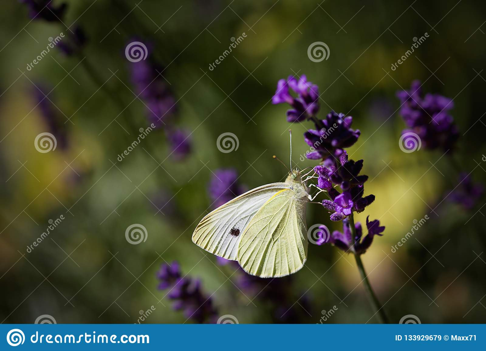 Small White Butterfly Sitting and Feeding on a Lavender Flower