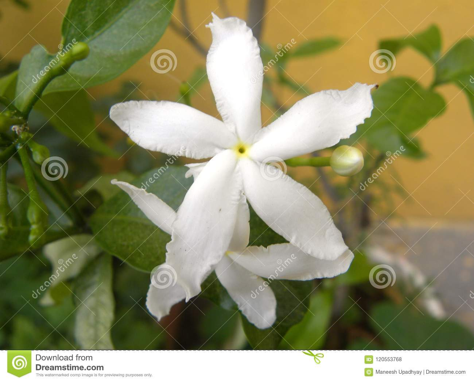 Small white color flower of crape jasmine plant stock photo image small white color flower of crape jasmine plant izmirmasajfo