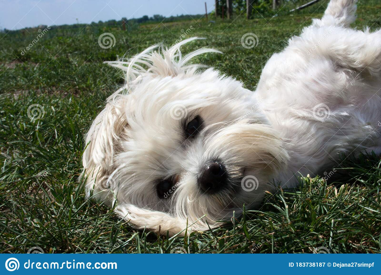 Close Up Of A Small White Maltese Stock Image Image Of Coat Brown 183738187