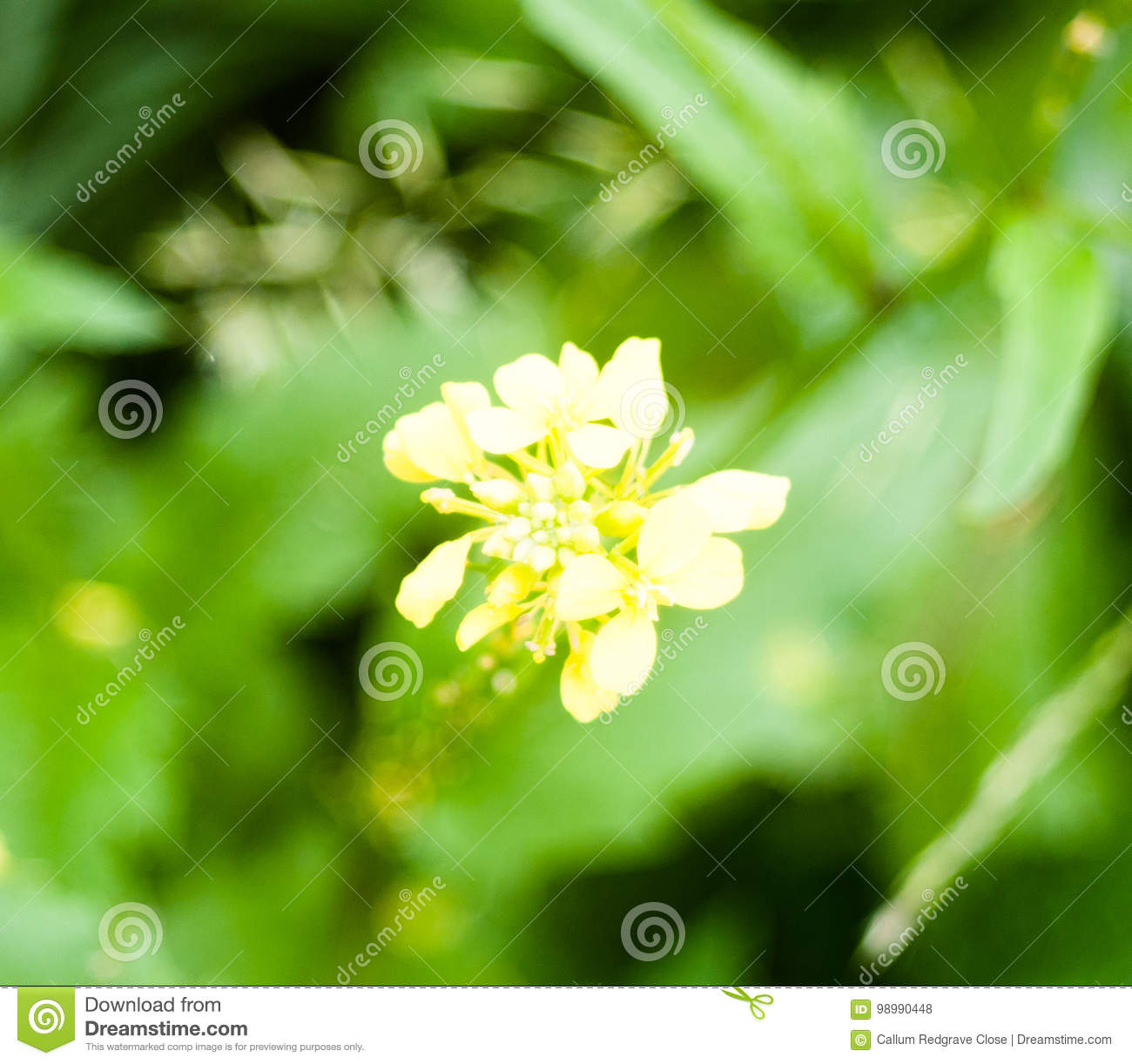 Close Up Of Small Yellow Flower Plant Growing Uk Stock Photo Image
