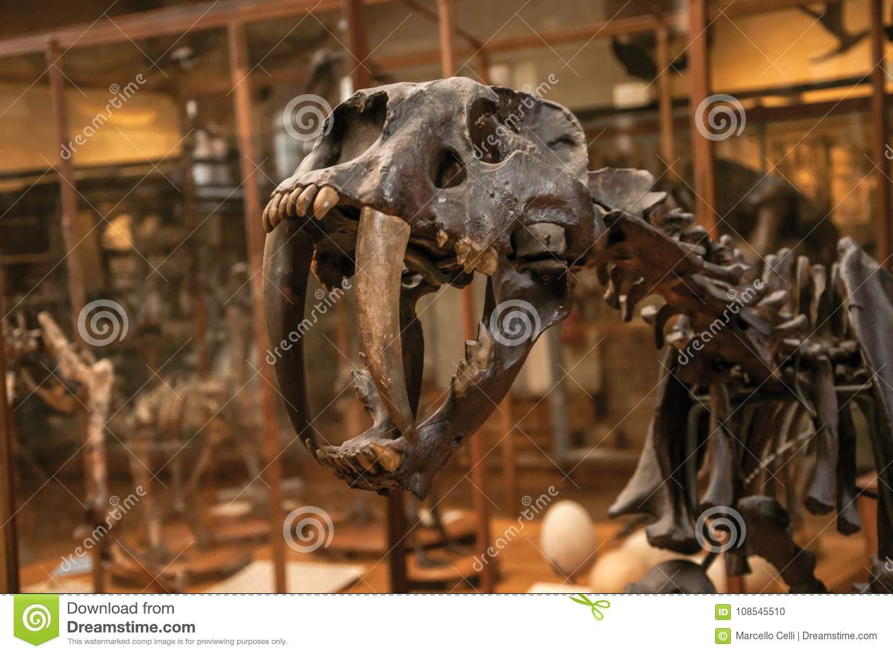 Close-up Of Smilodon Skull At Hall In Gallery Of Paleontology And ...