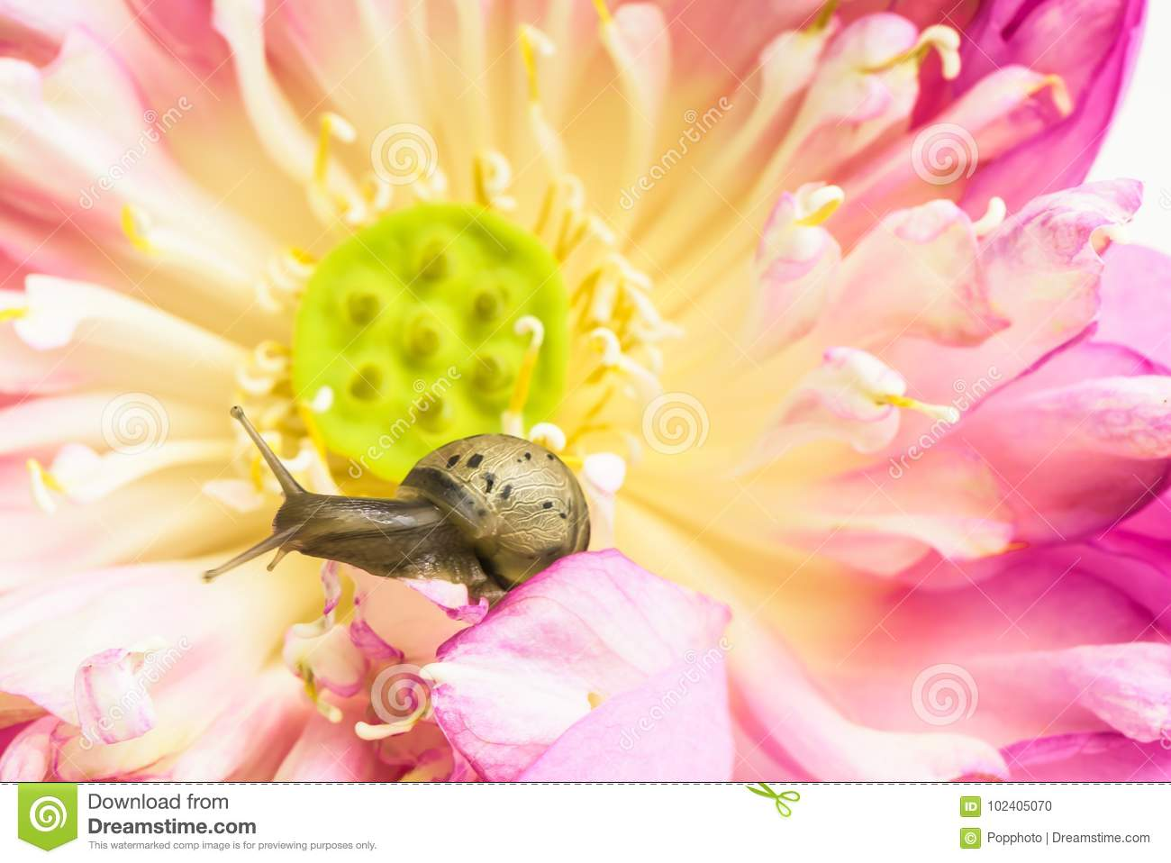 Close Up Of Snail On Lotus Flowers Stock Photo Image Of Flower