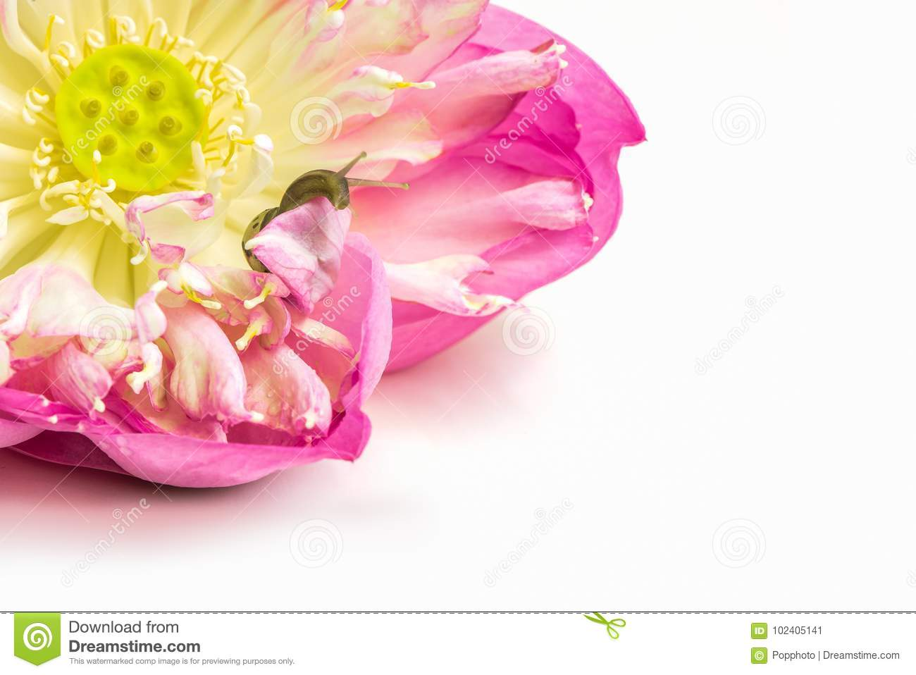 Close Up Of Snail On Lotus Flowers Stock Image Image Of Floral
