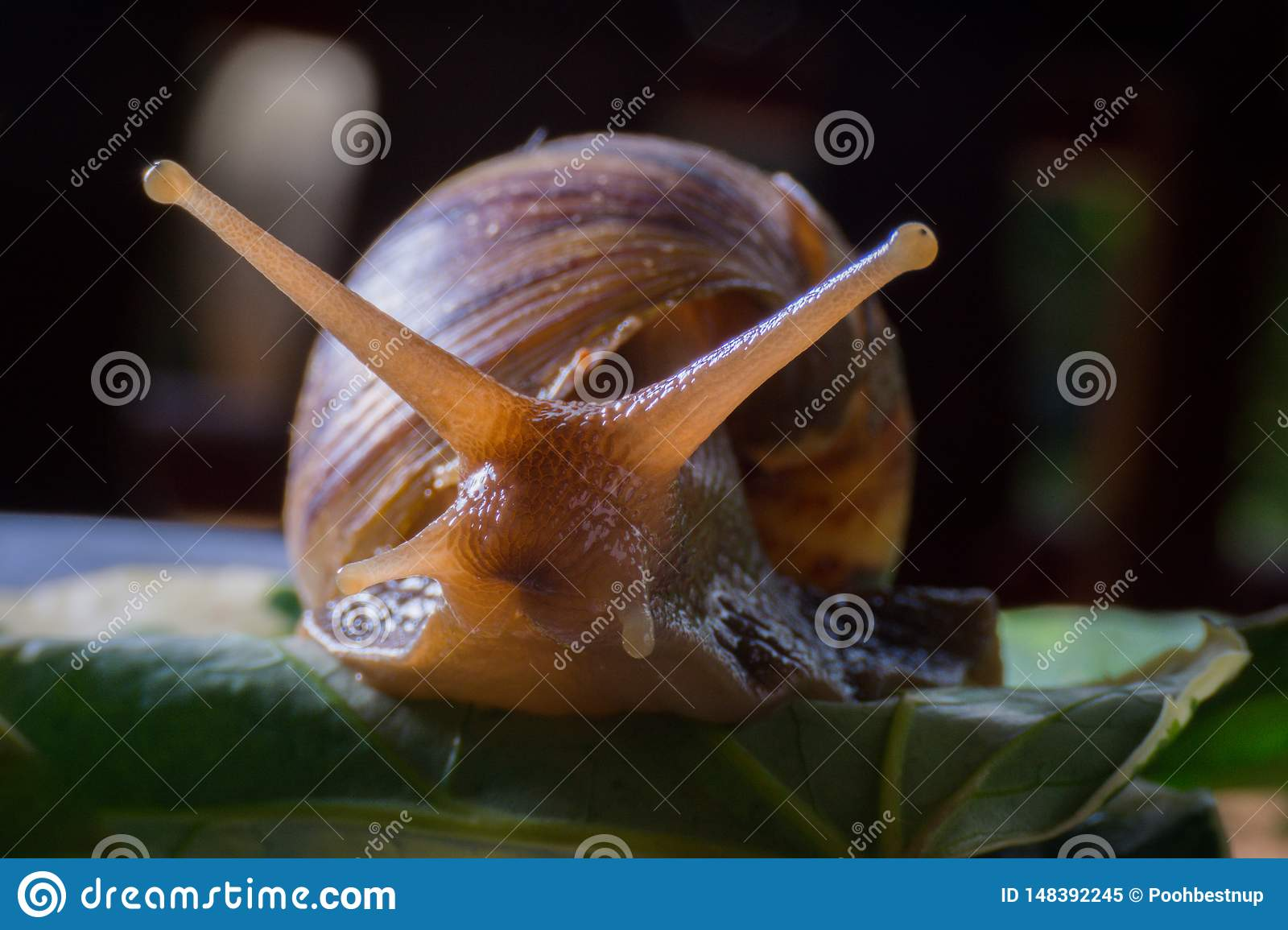 Close up snail walking on the leaves