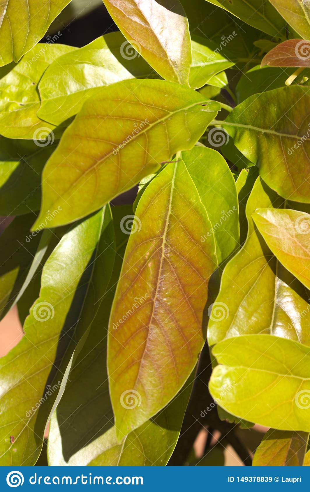Close-up of some leaves on the branch of a avocado