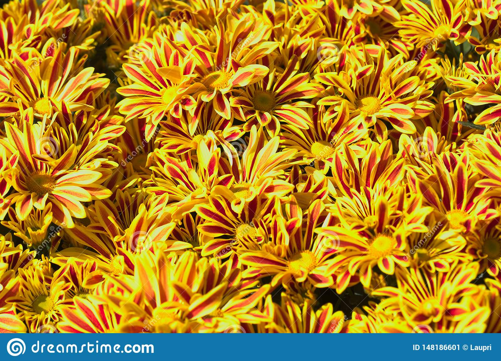 Close-up of some yellow daisies with reddish stripes