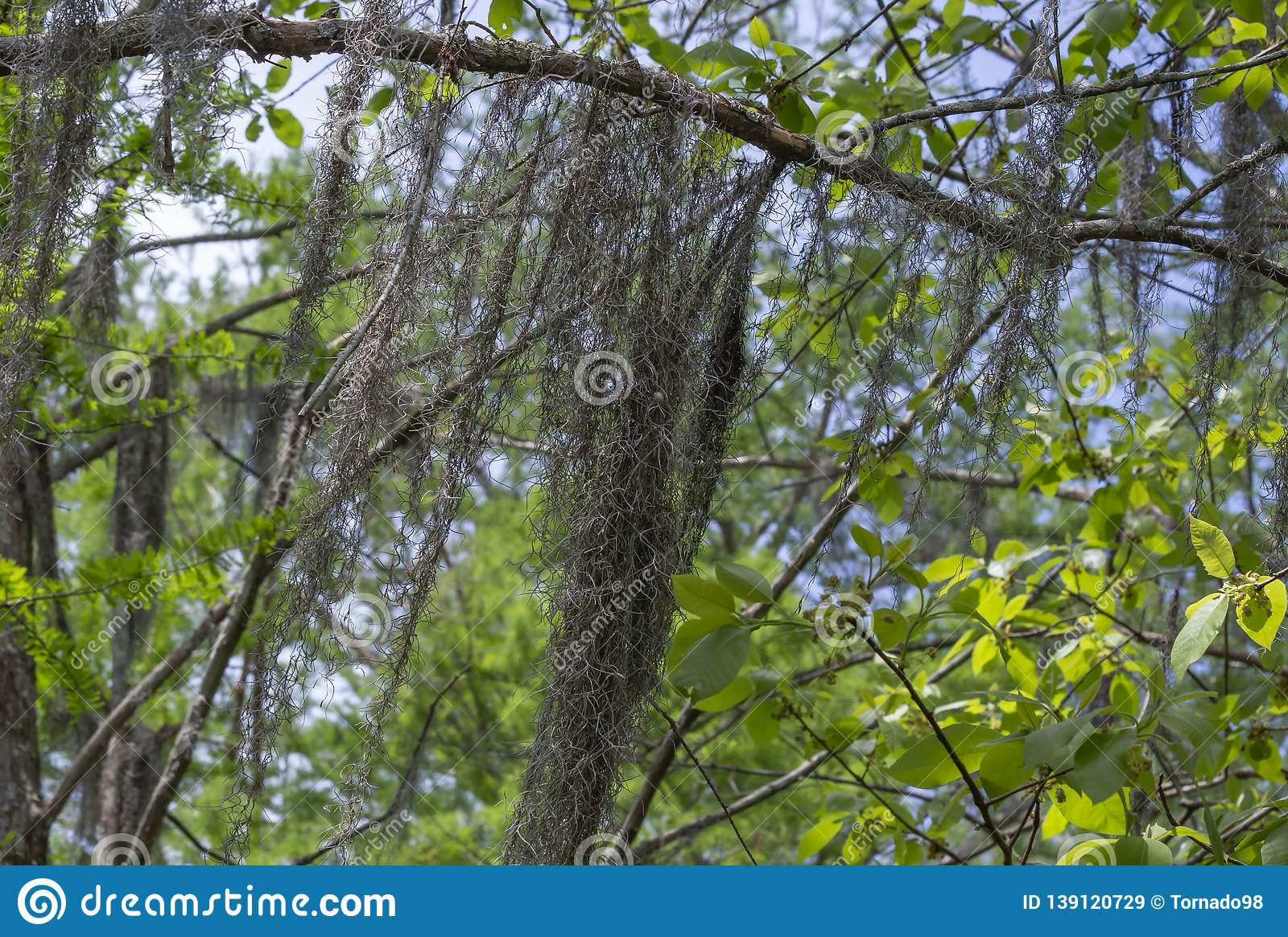 Spanish Moss Hanging From Tree Stock Image - Image of ...