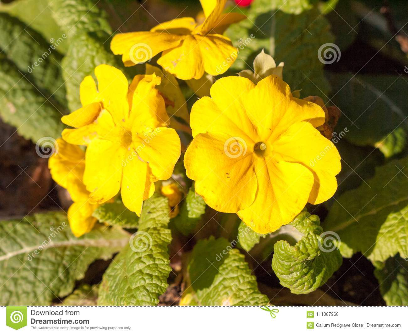 Close Up Spring Yellow Plant Flower Outside Grass Park Stock Photo