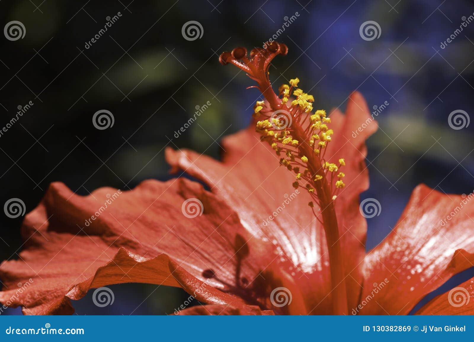 Stamen Of Red Hibiscus Flower Hibiscus Rosa Sinensis Stock Image