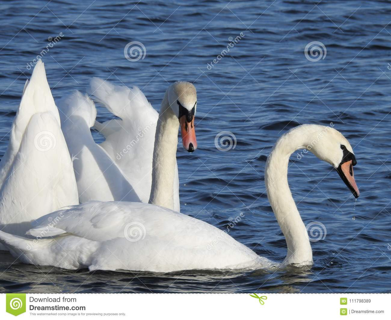 Close up of swans in the wild with blue water in the background