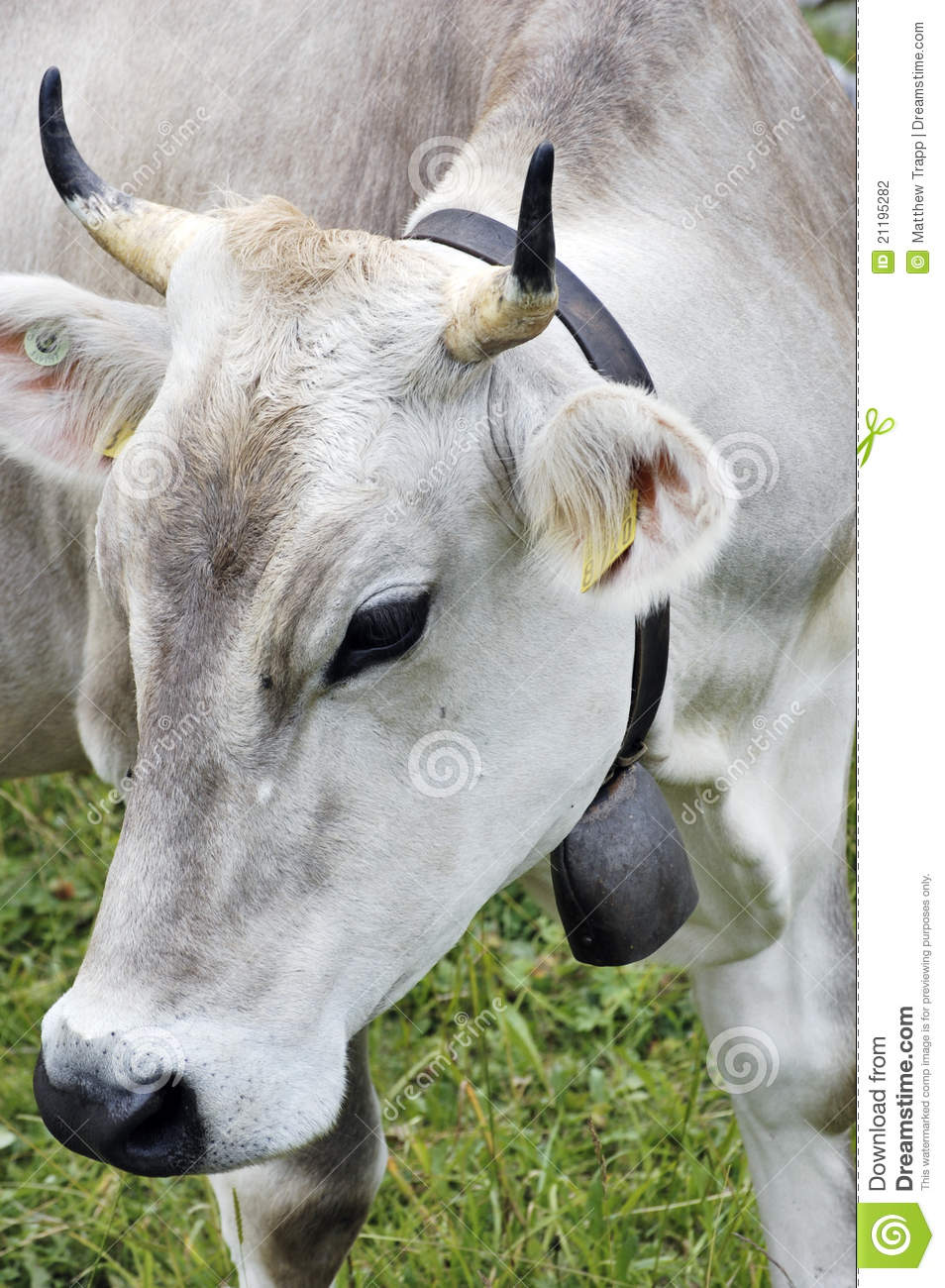 Close up of Swiss cow