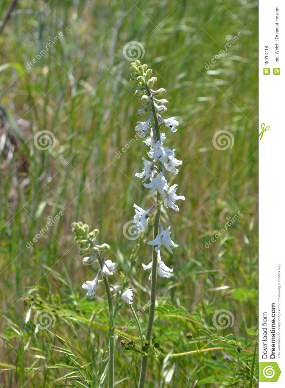 Close Up Of Tall White Wildflower Stock Photo Image Of Blowing