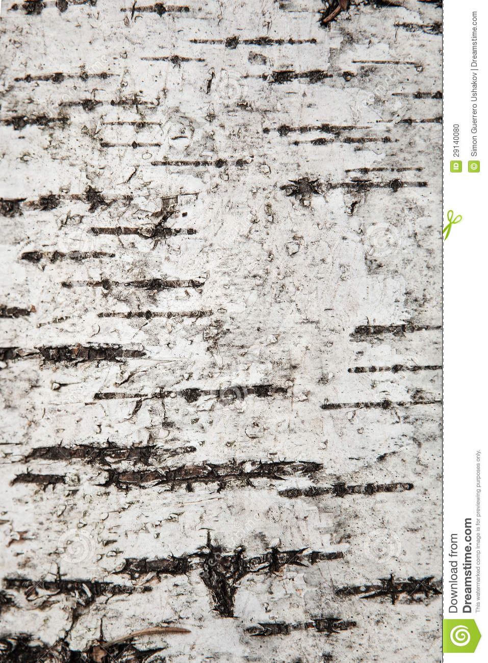close up texture of birch bark  background stock photo