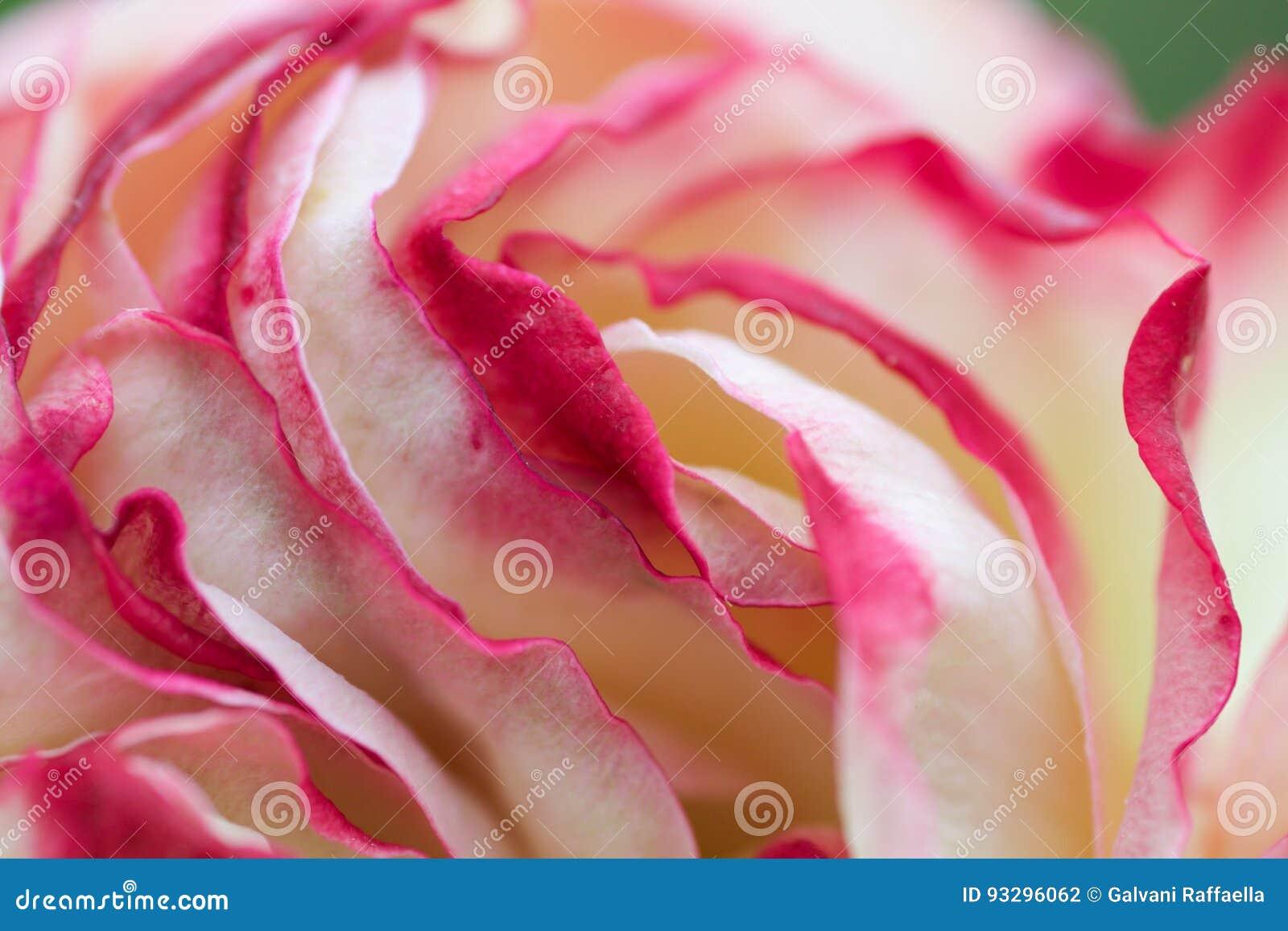 Close Up Texture Of Petals Of Pierre De Ronsard Rose Stock
