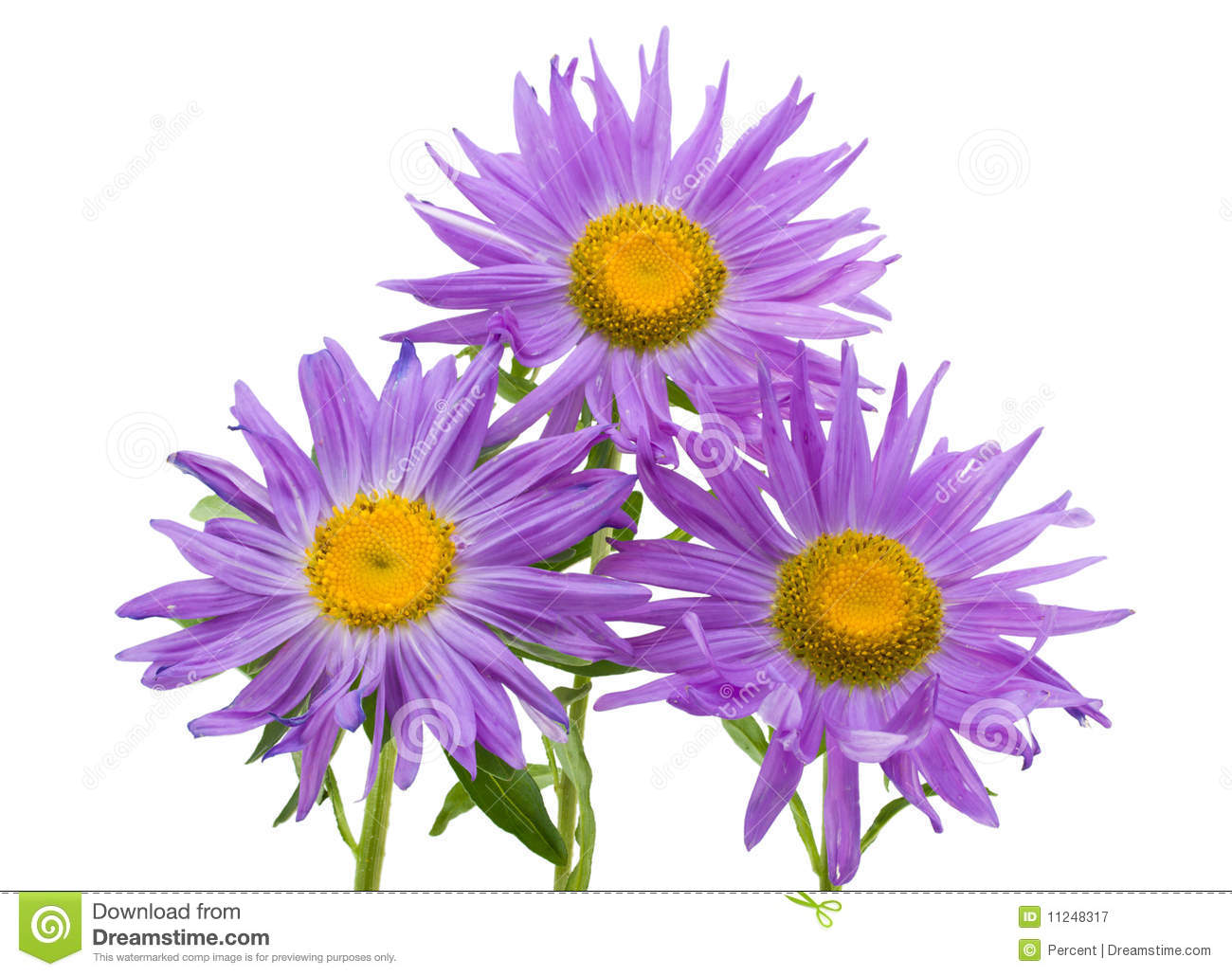 asters adn violets   Violet-white Aster Isolated Royalty