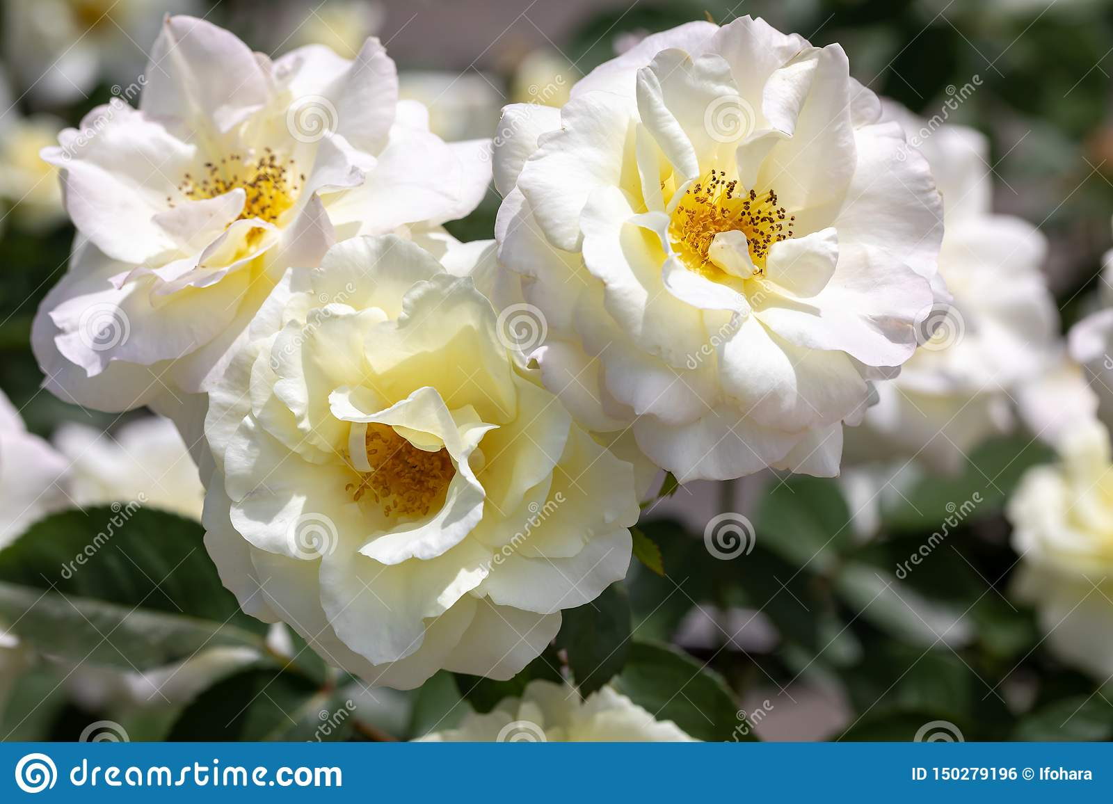Close-up of three white `Macy`s Pride` hybrid shrub roses blooming in garden