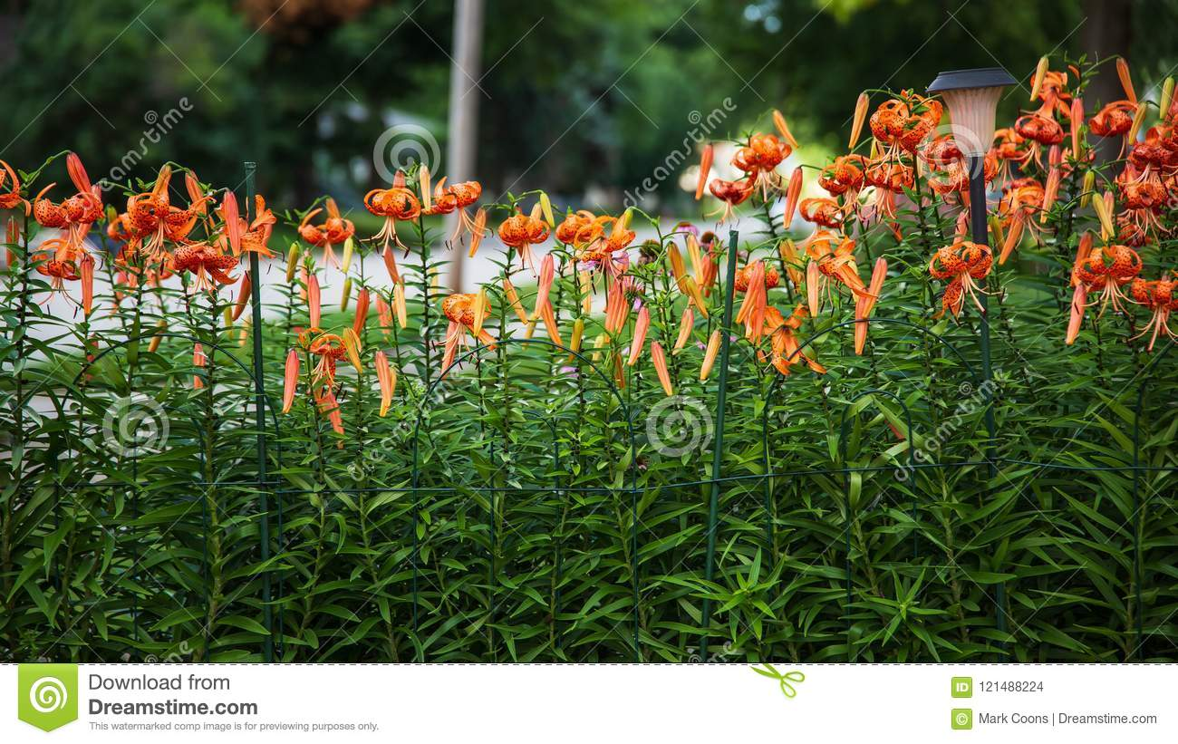 Close Up Of The Tiger Lily Garden Stock Photo Image Of Lilium