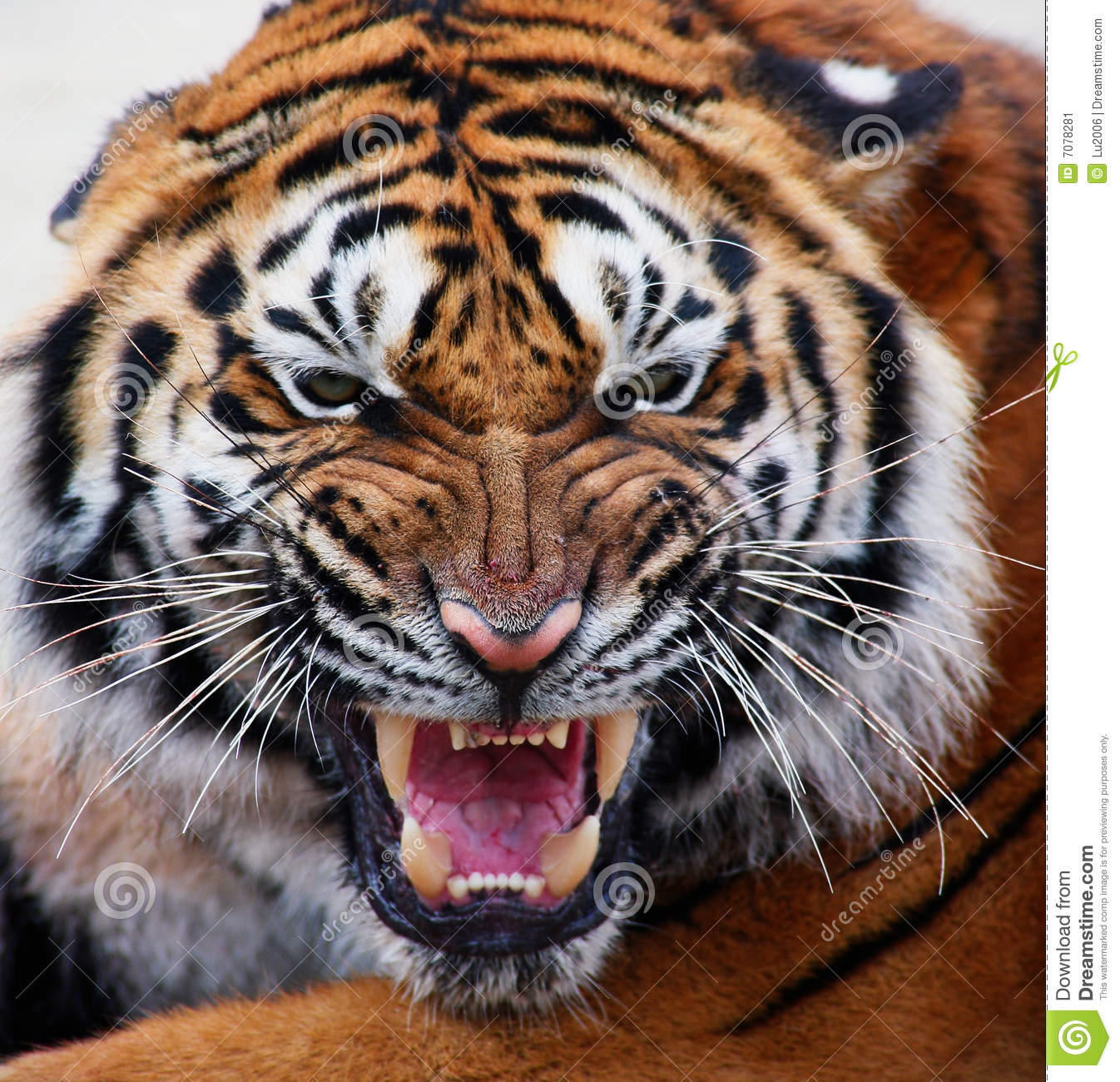 Close up of a tiger s face with bare teeth
