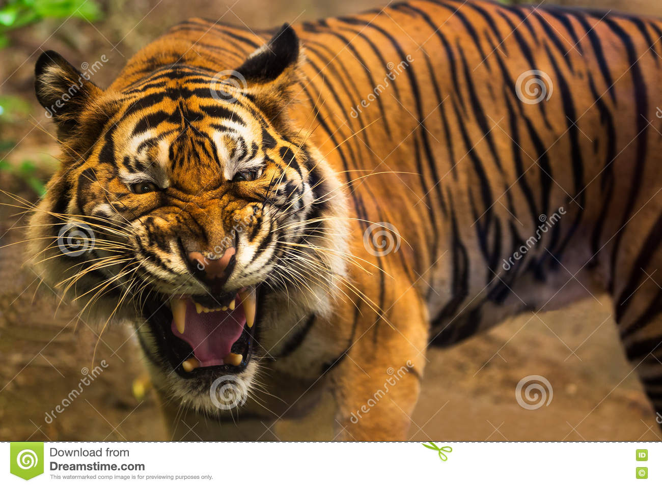 Close Up Of A Tigers Face With Bare Teeth Stock Photo ...