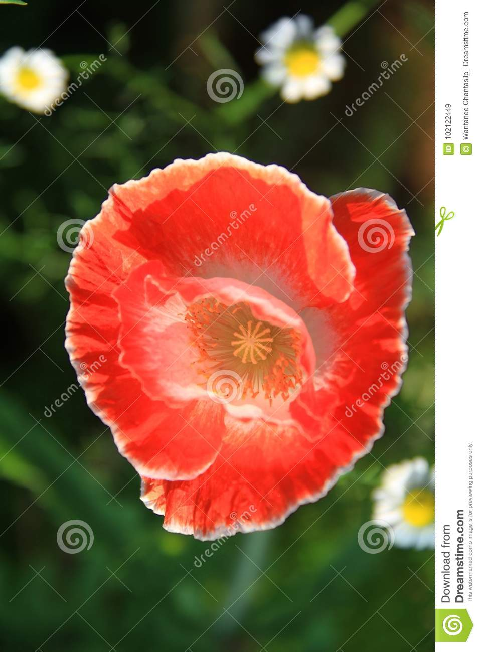 Close Up Top View Of Red Opium Poppy Flower Stock Image Image Of