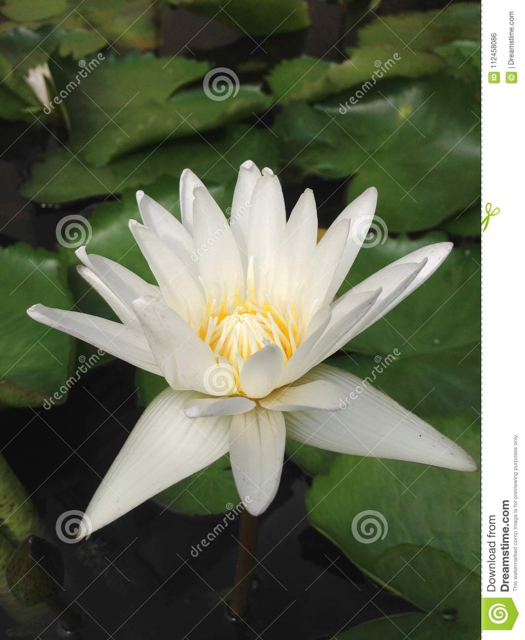 Close up top view white lotus flower is blooming and outstanding royalty free stock photo izmirmasajfo