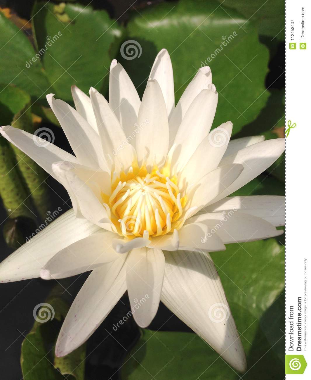Close up top view white lotus flower is blooming and outstanding royalty free stock photo download close up top view white lotus flower izmirmasajfo