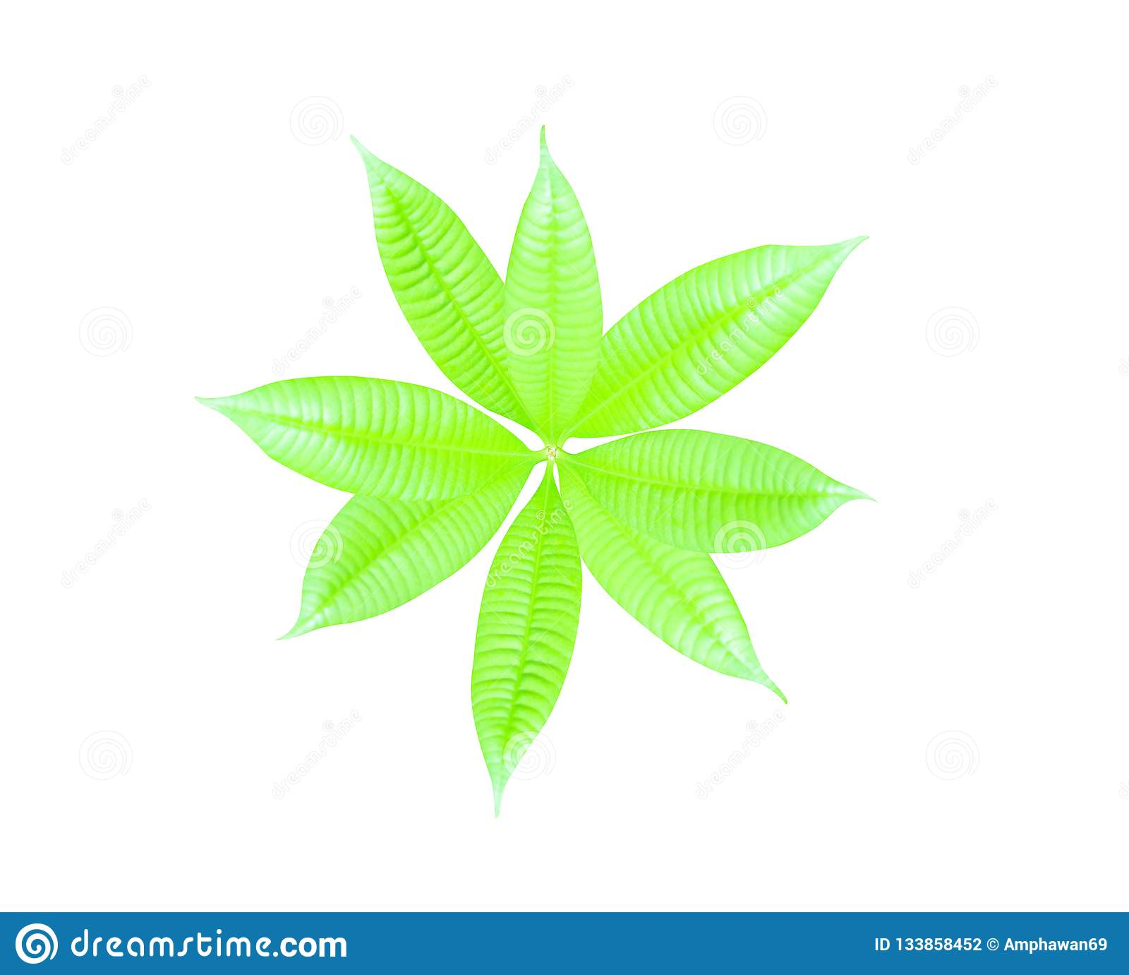 Top view young green leaf of mango tree isolated on white backgroun with clipping path