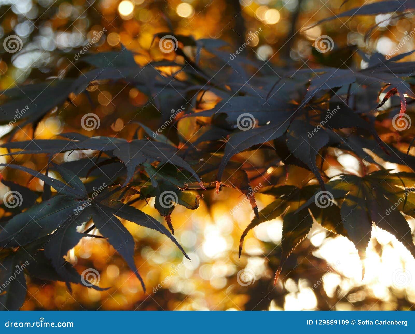 Japanese maple in sunset