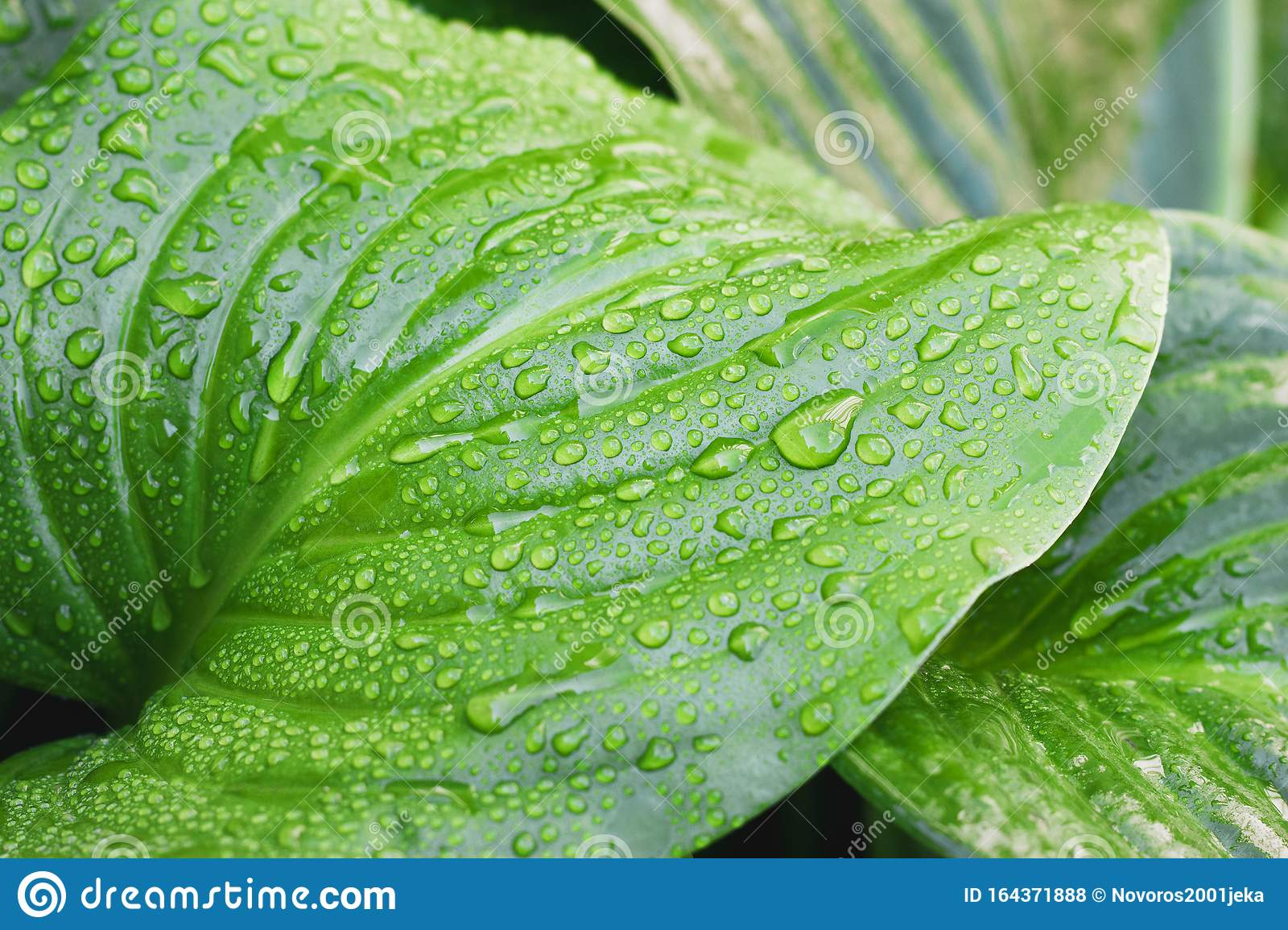 Close Up Of A Tropical Leaf With Water Drops Dew On Tropical Leaves Stock Photo Image Of Foliage Clean 164371888 Beautful sunlight and green leaves 4k stock video. https www dreamstime com close up tropical leaf water drops dew tropical leaves close up tropical leaf water drops dew tropical image164371888
