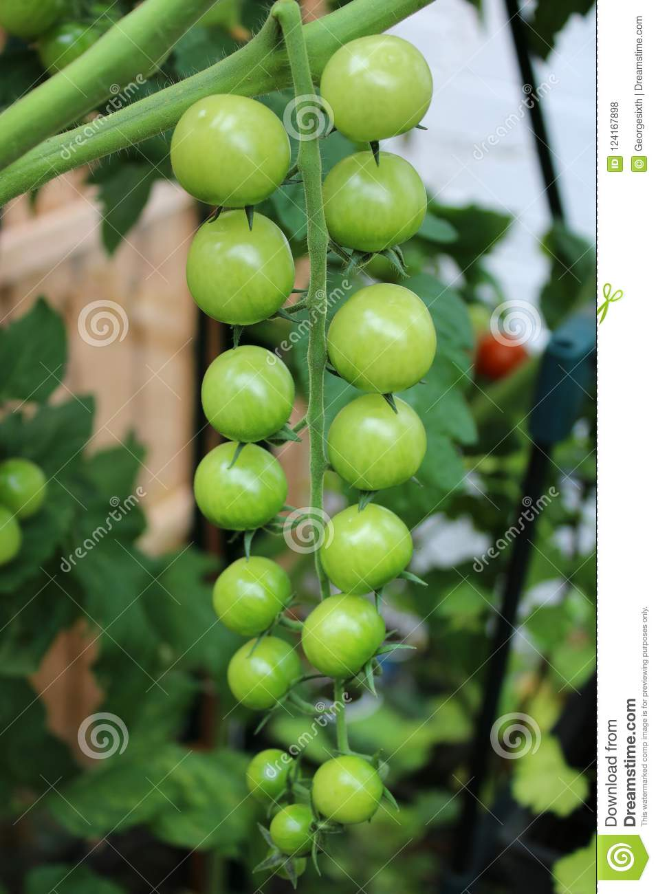 Truss of green tomatoes on a cherry tomato plant