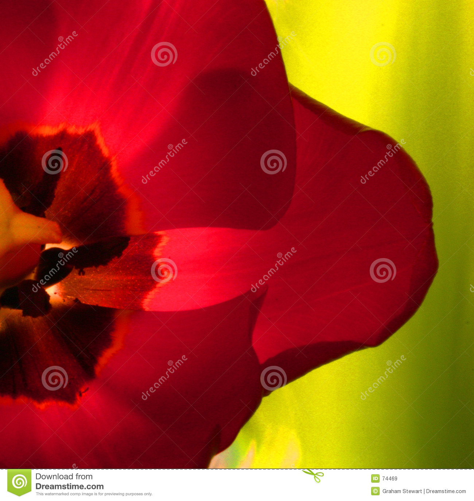 Close-Up Tulip