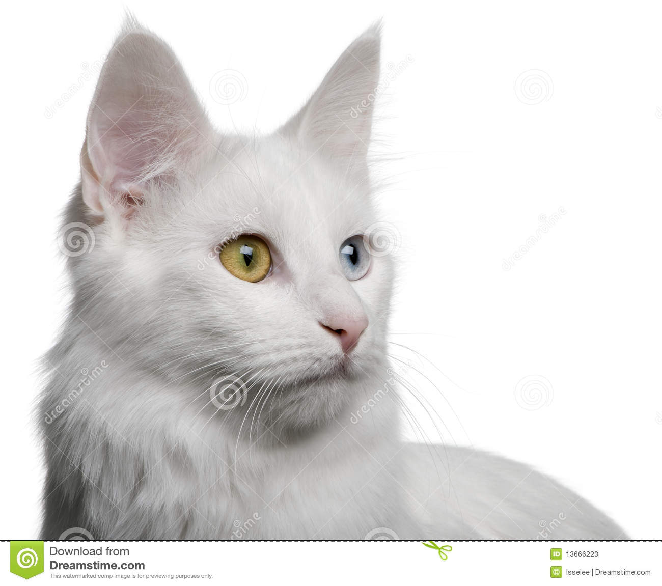 13ac1b51e8 Close Up Of A Turkish Angora (18 Months Old) Stock Image - Image of ...
