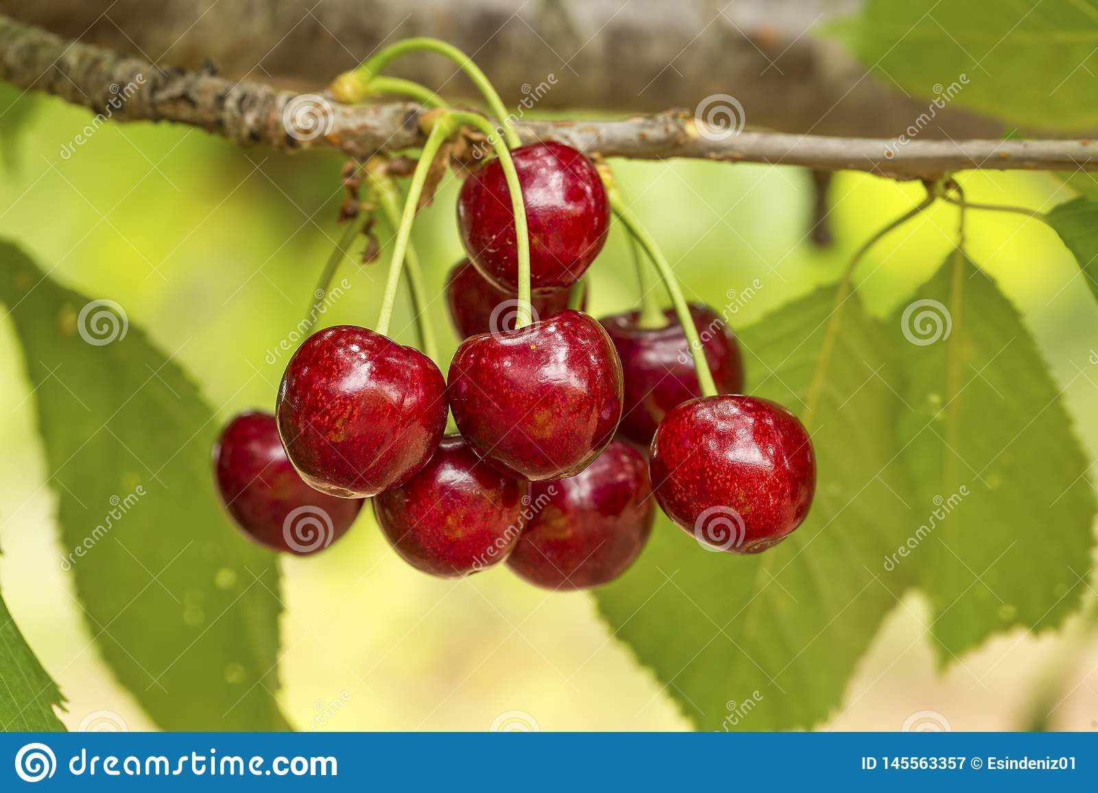 Close up of a twig with fresh juicy cherries. Shallow depth of focus. Concept farming