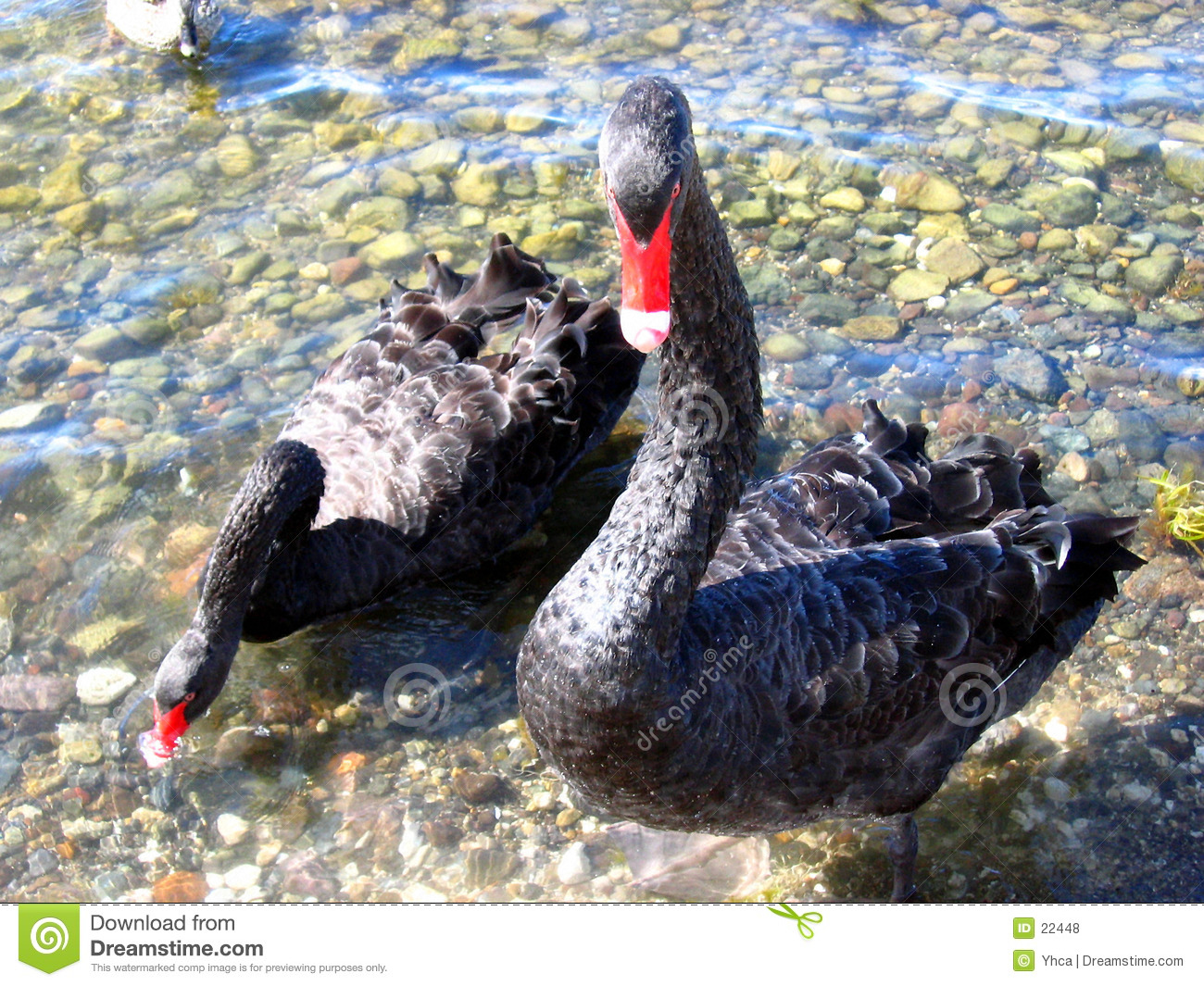 Close up of two black geese