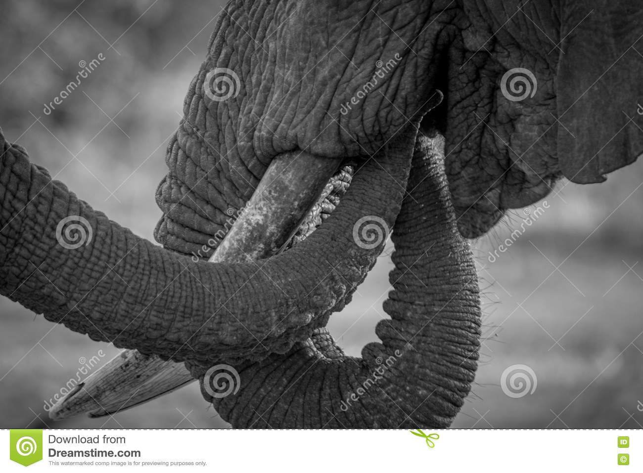 Close up of two Elephant trunks in black and white.