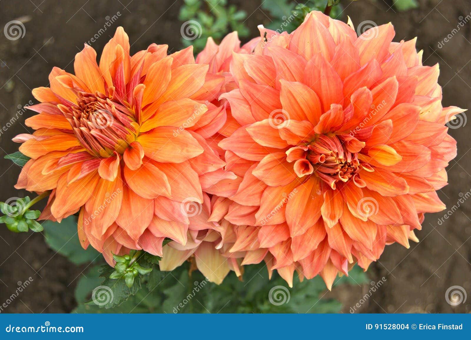 Close up of two orange dahlia flowers stock photo image of dahlia download close up of two orange dahlia flowers stock photo image of dahlia flowers izmirmasajfo