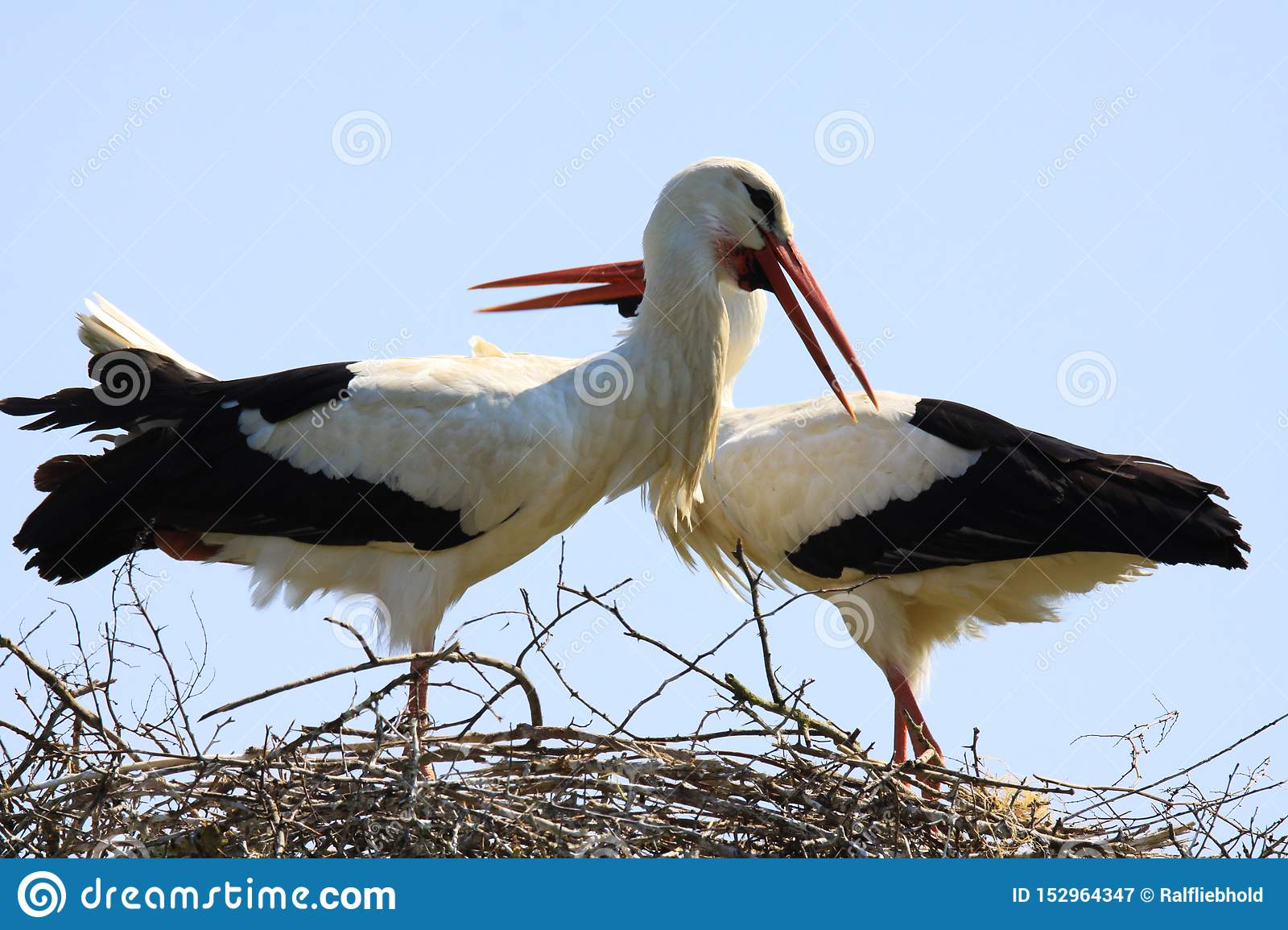 Close up of two storks in a nest on a tree with crossed necks